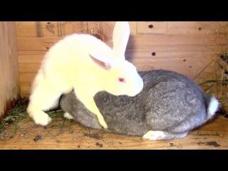 Мега прикол с кроликом. Кролик - ИЗВРАЩЕНЕЦ. Спаривание кроликов. кролики спариваются, секс