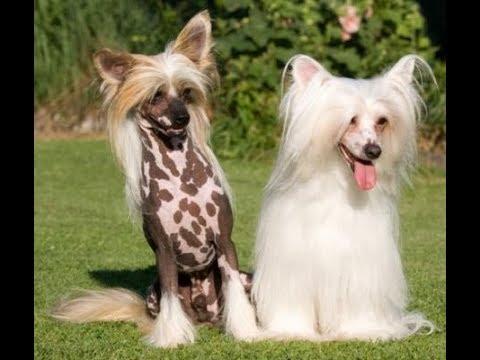О породах Китайская хохлатая собака лхаский апсо итальянская борзая англ мастифф бордер колли