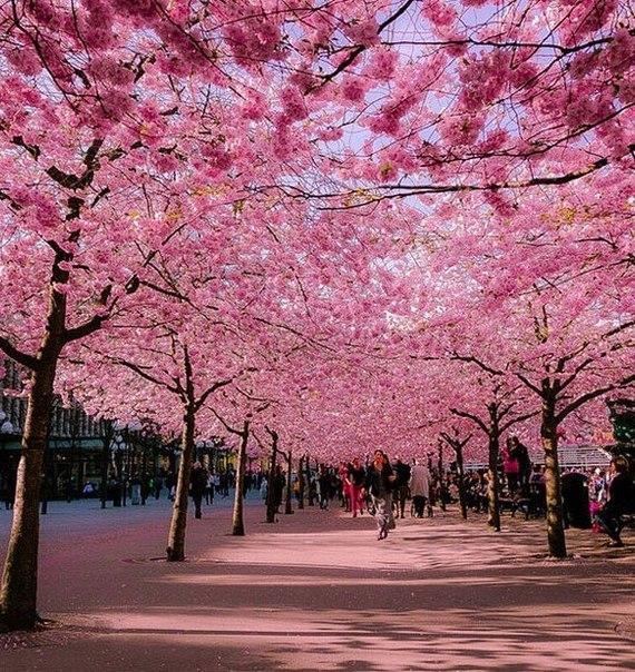 Цветущие вишни, Бонн, Германия