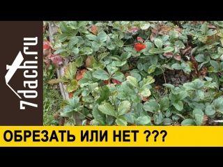 🍓 ОБРЕЗАТЬ ли клубнику на зиму Все ЗА и ПРОТИВ - 7 дач