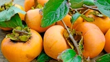 Persimmon Healthy Fruit. Health and Nutrition Benefits