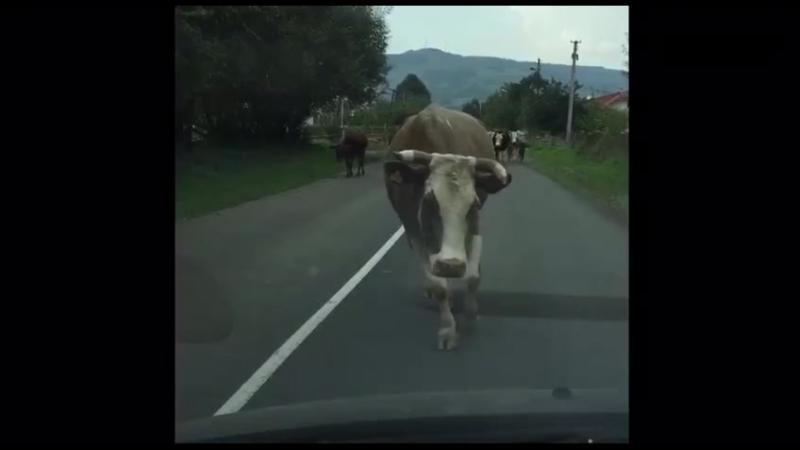 корова копия модельщ