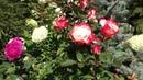 Роза Tantau царица сада