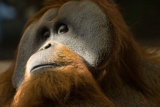 Суматрийский орангутанг бум охоты на