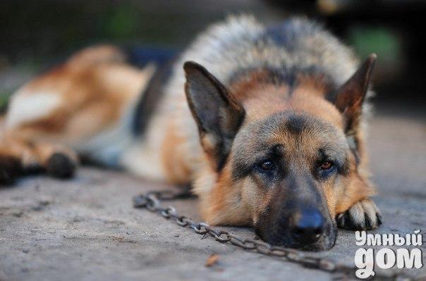 Как помочь бездомным собакам? Бездомным собакам нельзя смотреть в глаза: они читают мысли, угадывают сочувственное отношение к себе – и идут следом. И если вы, невольно приманив собаку, отвернетесь от нее, то не сможете простить себе этого никогда. Потому что это будет чувство вины – за неоказание помощи попавшему в беду. «Пропала собака, щенок среднеазиатской овчарки, 4 месяца»… Наше объявление висело на всех окрестных деревьях и столбах несколько месяцев. А потом прибежали соседские дети:…