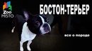 Бостон-терьер - Все о породе собаки   Собака породы - Бостон-терьер