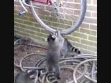 Еноты и колесо