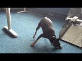 Oskar the Drop Dead office dog going mental!