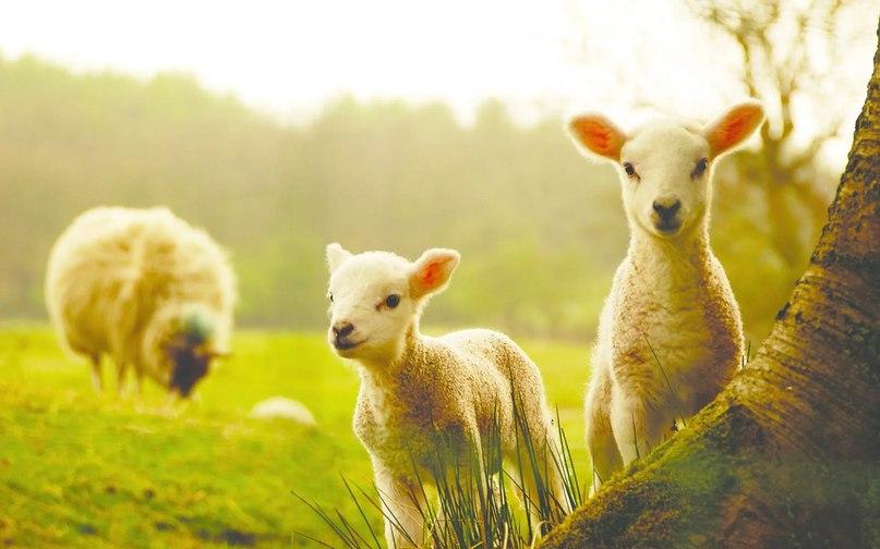 Ученые назвали причину держаться подальше от овец | ВКонтакте