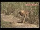 Сервал охотится на ядовитую змеюServal vs Poisonous Snake