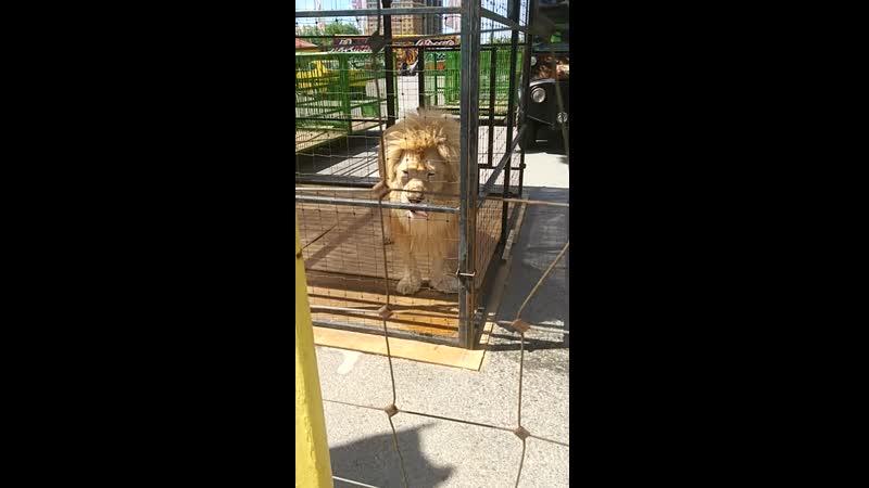 лев голубые глаза Рязань цирк demidov премьер большие кошки киски