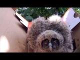 Ушастая сова: как вырос наш совенок