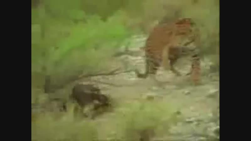 Ягуар против коати