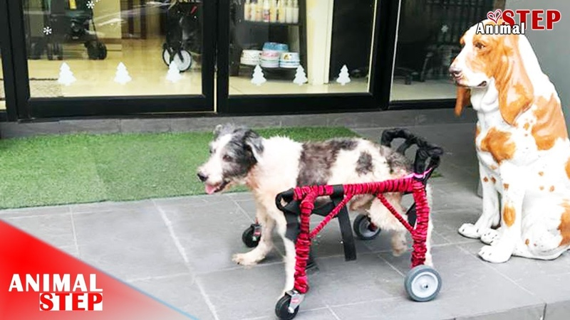 Pitiful Homeless Dog with Injured Both Legs Gets New Life on a Wheelchair – Faith Restored