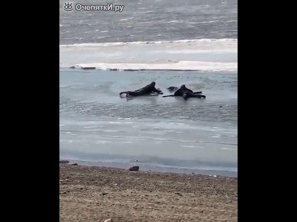 Спасение собаки со льда в Хабаровске