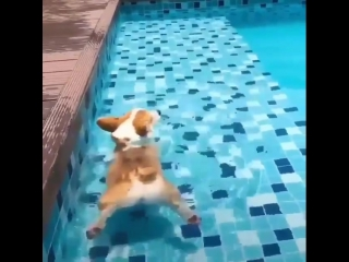Did you know corgi butts can float in water .mp4