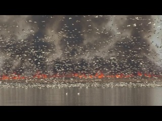 ����� � ����� / Fire and Snow Geese at Squaw Creek NWR