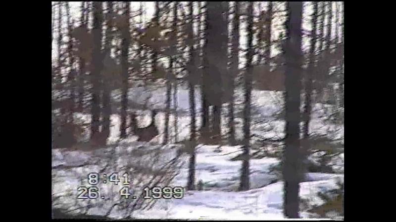 хозяева Сибири: Токует каменный глухарь