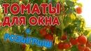 Супер томат для выращивания дома Как вырастить томат на подоконнике