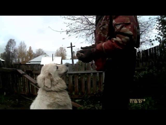 Аппортировка урок 6. Маремма-абруццкая овчарка Миф.