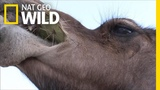 Camels Don't Mind Spines In Their Cacti Nat Geo Wild