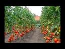 как вырастить помидоры по методу И.М. Маслова