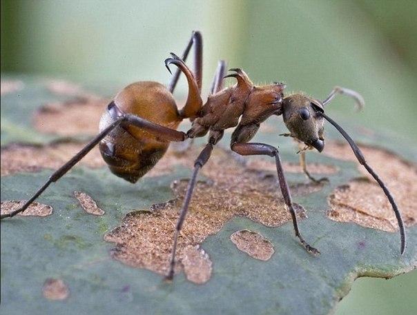 У муравья два желудка.