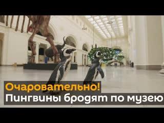 Забавное видео- пингвины прогулялись по музею и изучили экспонаты