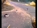 Кошка гоняет собак