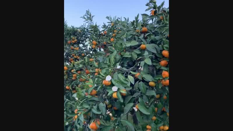 Мандариновые плантации 🍊