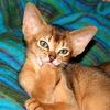 """Питомник абиссинских кошек """"Мур-Мур"""""""