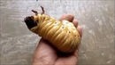 The Life Cycle Of A Hercules Beetle Is Crazy!