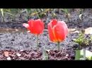 Майские тюльпаны под дождем