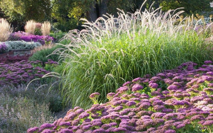 Осенний сад на даче-Декоративные травы Pennisetum Moudry, Пеннисетум (или перистощетинник), очиток розовый едкий