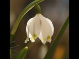 Белые цветы. Цветы фото. Рябчик. Ландыш. Веретеница дубравная. Гиацинт.Тюльпан. Нарцисс. Крокус.