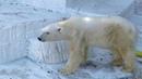 ホッキョクグマ ゴーゴ 2019/3/9 オヤツタイム Polar Bear Gogo It's Snack Time ①