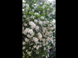 Цветущий жасмин возле моего дома!.. Любимовка...(22 мая 2018 г.)