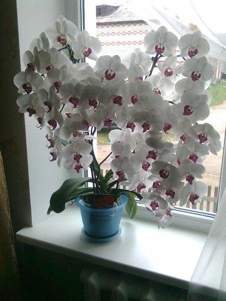 Никогда не видела, чтобы орхидея так цвела... (источник: gofazenda)