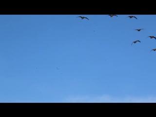 налет гусей