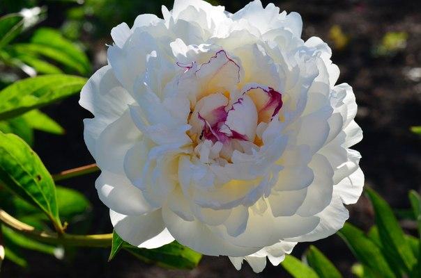 Пион Обожаю эти благоухающие цветы!!!