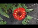 Осенние цветы на моем участке в середине сентября