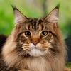 Мейн-Кун котята Питомник KARABASVILLE*RU