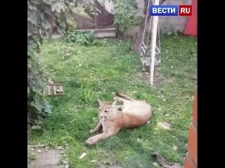 В Подмосковье поймали пуму, гулявшую по дачам и напавшую на собаку