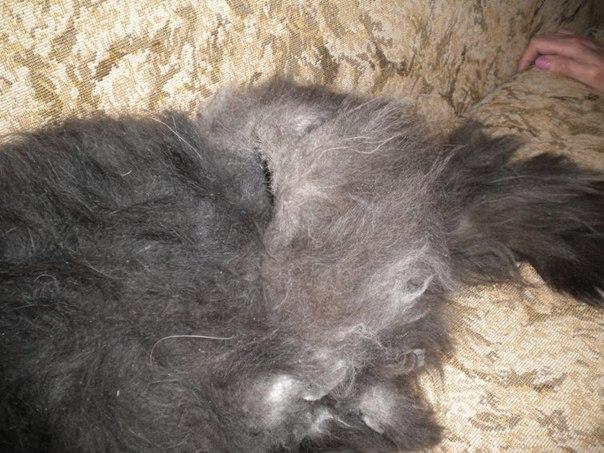 Усатики | Колтуны у кошки: причины и как от них