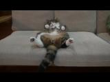 Умилительная кошка Мару
