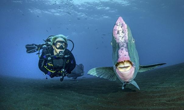 Гигантская рыба-попугай плывет рядом с дайвером и позирует перед камерой, Индонезия, Бали