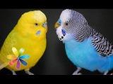 О говорящих попугаях