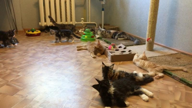 Питомник Acadia Maine. Жарко, котята отдыхают По вопросу приобретения котят обращайтесь в личку или 8-927-604-52-76