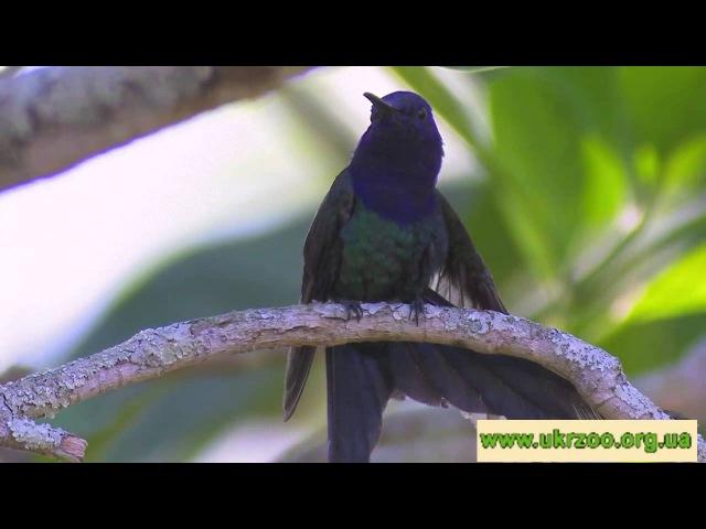 Swallow tailed hummingbird - Eupetomena macroura - Ширококрылый колибри