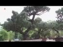 선물식물들에 비낀 위인칭송의 세계 -중앙식물원 국제친선식물관을 찾아서- 사철누리장나무와 섬잣나무
